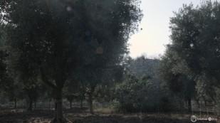 Ελιές στο Cavallino